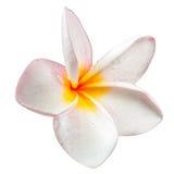 Λουλούδι Frangipani plumeria Spa Στοκ φωτογραφία με δικαίωμα ελεύθερης χρήσης