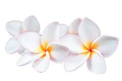 Λουλούδι Frangipani plumeria Spa Στοκ Φωτογραφίες