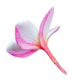 Λουλούδι Frangipani plumeria Spa Στοκ Εικόνα