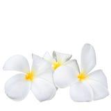 Λουλούδι Frangipani plumeria Spa Στοκ Εικόνες