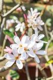 Λουλούδι Frangipanis Στοκ φωτογραφίες με δικαίωμα ελεύθερης χρήσης