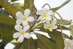 Λουλούδι Frangipanis Στοκ εικόνες με δικαίωμα ελεύθερης χρήσης