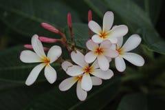 Λουλούδι Frangipanis Στοκ εικόνα με δικαίωμα ελεύθερης χρήσης