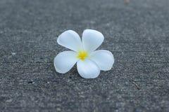 Λουλούδι Frangipanni ή plumeria Στοκ Εικόνες