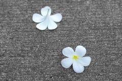 Λουλούδι Frangipanni ή plumeria Στοκ εικόνες με δικαίωμα ελεύθερης χρήσης