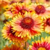 Λουλούδι Gaillardia Στοκ εικόνα με δικαίωμα ελεύθερης χρήσης