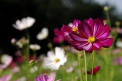 Λουλούδι Galsang στοκ εικόνες με δικαίωμα ελεύθερης χρήσης