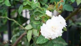Λουλούδι Gardenia Στοκ εικόνες με δικαίωμα ελεύθερης χρήσης
