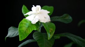 Λουλούδι Gardenia απόθεμα βίντεο