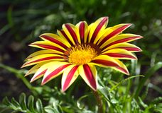 Λουλούδι Gazania Στοκ Φωτογραφία