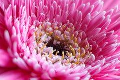Λουλούδι Gerbera Στοκ Εικόνες