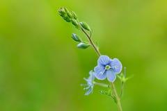 Λουλούδι germander speedwell ή πουλί-μάτι speedwell (Βερόνικα chamaedrys) Στοκ Εικόνες