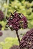 Λουλούδι gigas της Angelica με τις μέλισσες Στοκ Φωτογραφία