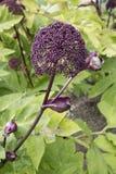 Λουλούδι gigas της Angelica Στοκ Εικόνες