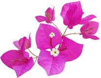 Λουλούδι Glabra Bougainvillea στοκ εικόνες