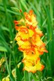 Λουλούδι Gladiolus στον κήπο Στοκ εικόνα με δικαίωμα ελεύθερης χρήσης