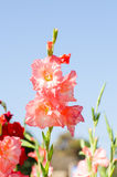 Λουλούδι Gladiolus Στοκ Εικόνα