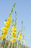 Λουλούδι Gladiolus Στοκ εικόνα με δικαίωμα ελεύθερης χρήσης