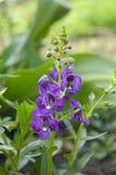 Λουλούδι goyazensis Angelonia Στοκ Εικόνες