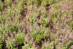 Λουλούδι goyazensis Angelonia Στοκ εικόνα με δικαίωμα ελεύθερης χρήσης