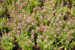 Λουλούδι goyazensis Angelonia Στοκ φωτογραφία με δικαίωμα ελεύθερης χρήσης