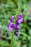 Λουλούδι goyazensis Angelonia Στοκ Φωτογραφία