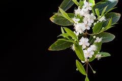 Λουλούδι Guavira Στοκ Εικόνες