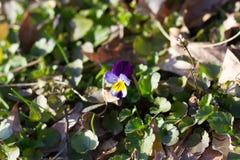 Λουλούδι Guestphalica Viola Στοκ φωτογραφία με δικαίωμα ελεύθερης χρήσης