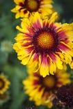 Λουλούδι Helenium Στοκ Εικόνες
