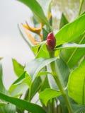 Λουλούδι Heliconia, λουλούδι πουλιών του παραδείσου με το πράσινο φύλλο κοντά ri Στοκ Εικόνες