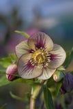 Λουλούδι Hellebore Στοκ εικόνα με δικαίωμα ελεύθερης χρήσης