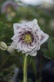 Λουλούδι Hellebore Στοκ φωτογραφία με δικαίωμα ελεύθερης χρήσης