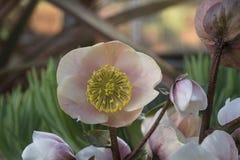 Λουλούδι Hellebore Στοκ Εικόνα