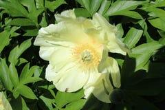Λουλούδι hellebores Στοκ Εικόνα