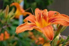 Λουλούδι hemerocalle, hemerocallis Στοκ Εικόνα