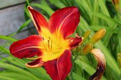 Λουλούδι hemerocalle, hemerocallis Στοκ φωτογραφία με δικαίωμα ελεύθερης χρήσης