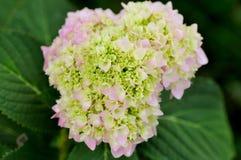 Λουλούδι Hydrangea Στοκ φωτογραφία με δικαίωμα ελεύθερης χρήσης