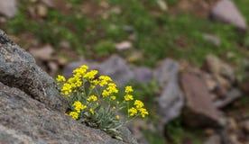 Λουλούδι Immortelle Στοκ εικόνες με δικαίωμα ελεύθερης χρήσης
