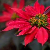 Λουλούδι Inca Στοκ φωτογραφίες με δικαίωμα ελεύθερης χρήσης