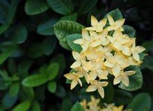 Λουλούδι Ixora, λουλούδι ακίδων, κίτρινο χρώμα, τοπ άποψη Στοκ Φωτογραφίες