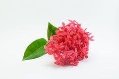 Λουλούδι Ixora στο άσπρο υπόβαθρο στοκ φωτογραφίες με δικαίωμα ελεύθερης χρήσης