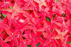 Λουλούδι 7 Ixora Στοκ φωτογραφία με δικαίωμα ελεύθερης χρήσης