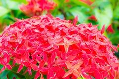 Λουλούδι 2 Ixora Στοκ εικόνες με δικαίωμα ελεύθερης χρήσης
