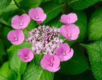 Λουλούδι Japanesse Στοκ εικόνες με δικαίωμα ελεύθερης χρήσης
