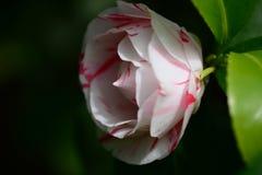 Λουλούδι japonica Camelia Στοκ φωτογραφίες με δικαίωμα ελεύθερης χρήσης