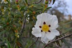 Λουλούδι Jara Στοκ Εικόνες