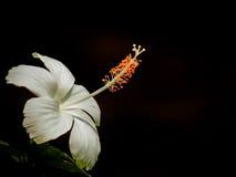Λουλούδι Joba στοκ εικόνες με δικαίωμα ελεύθερης χρήσης