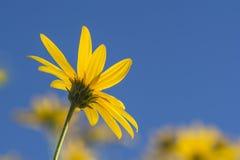 Λουλούδι Jurusalem Arichoke Tuberosus Helianthus ενάντια στο μπλε SK Στοκ Εικόνες