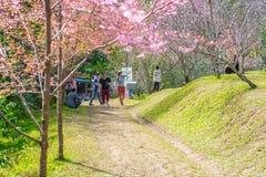 Λουλούδι Khun Chang Kian ανθών κερασιών Στοκ εικόνα με δικαίωμα ελεύθερης χρήσης