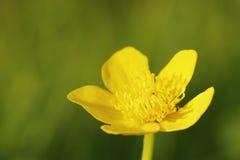 Λουλούδι Kingcup Στοκ Φωτογραφία